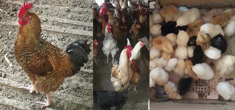 nyabiosi chicken house